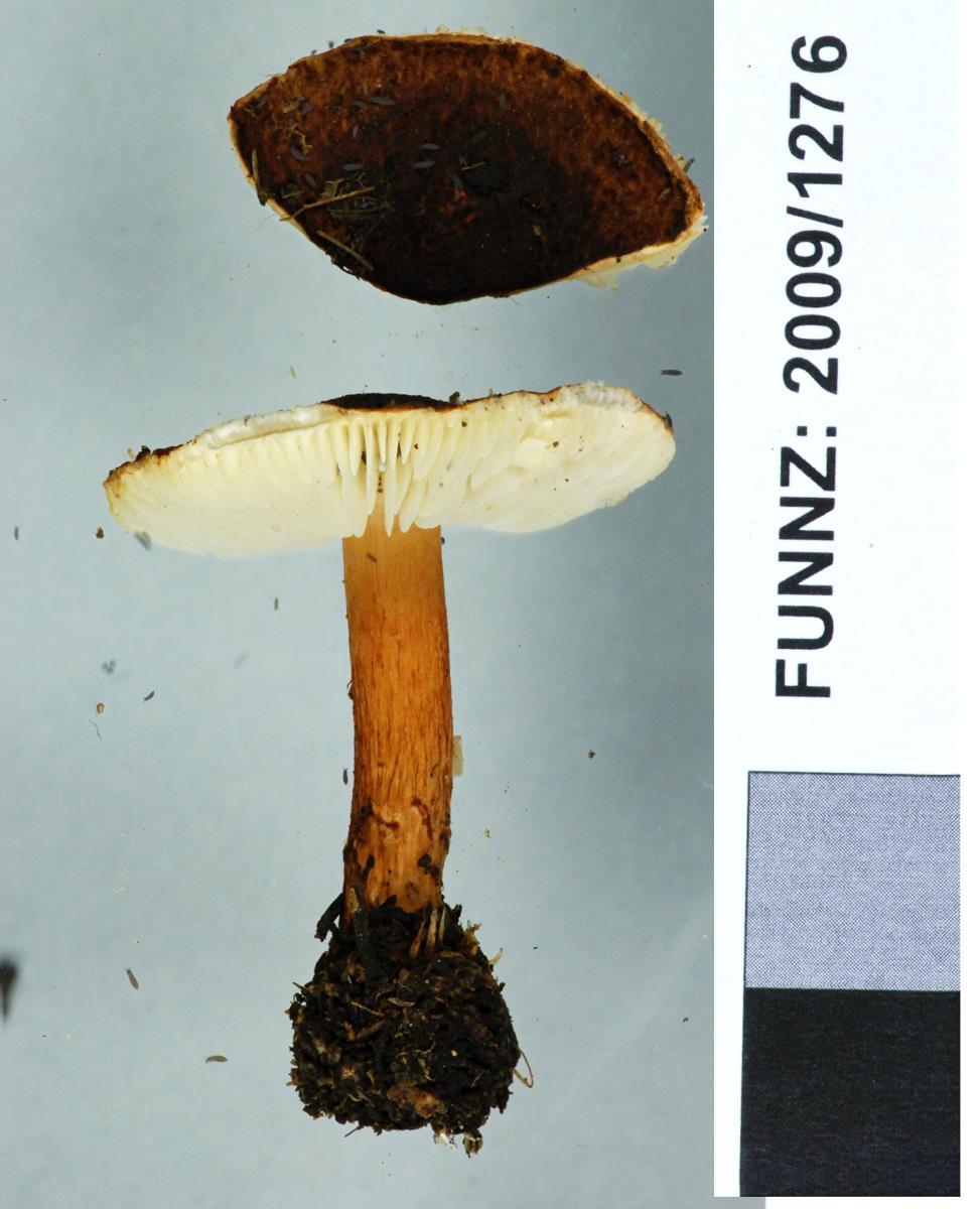 Lepiota alopochroa image