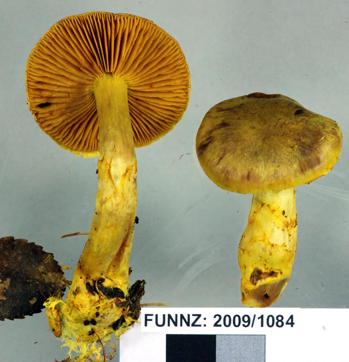 Image of Cortinarius canarius