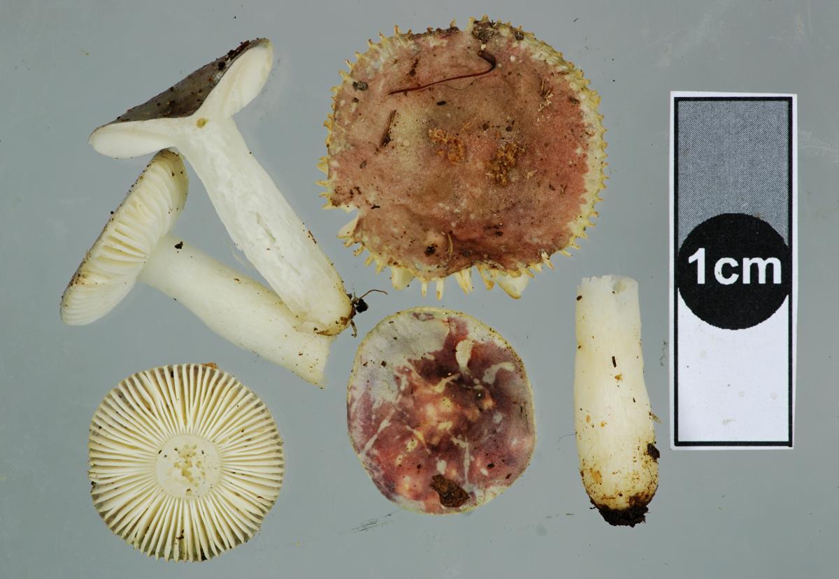 Russula laccata image