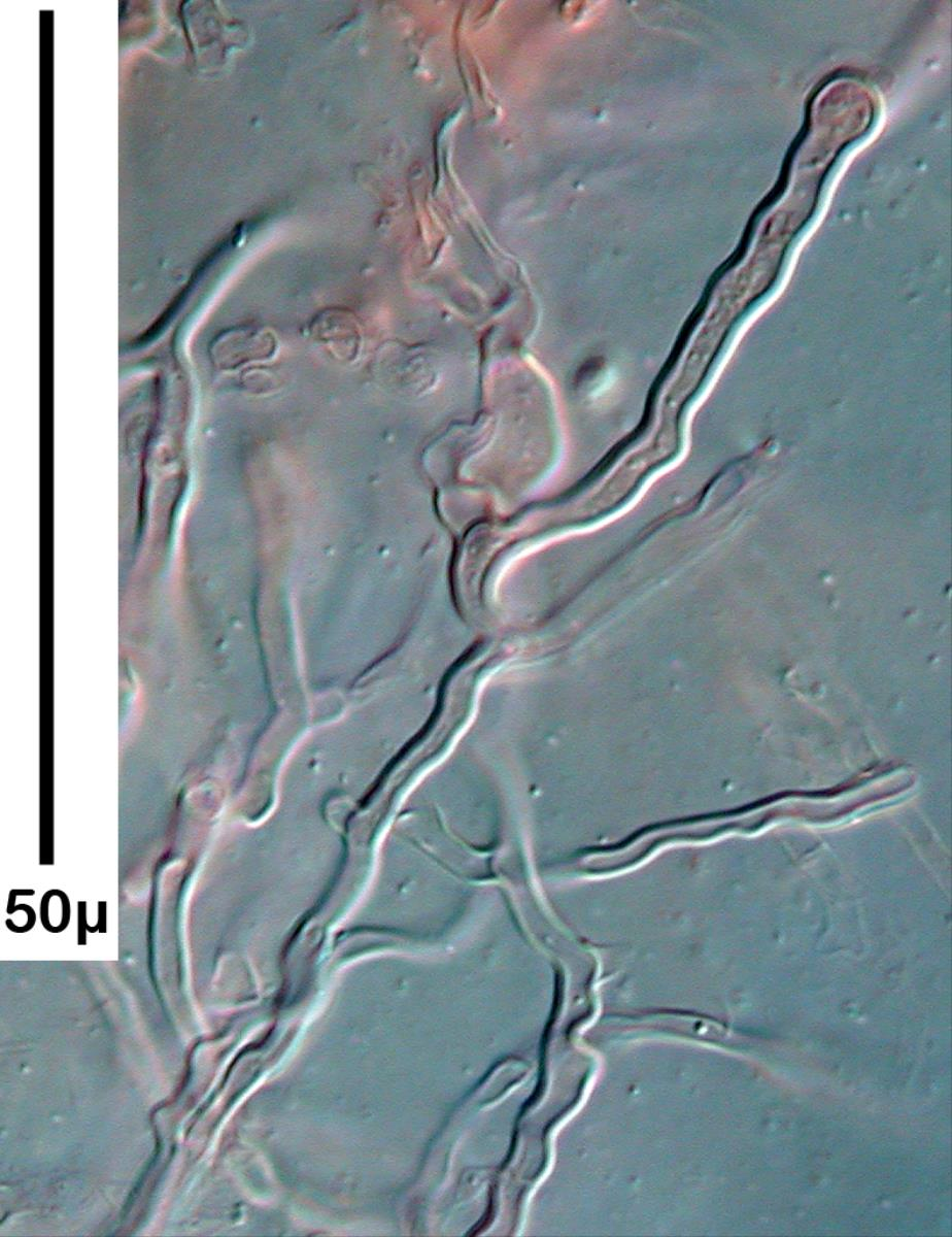 Heterochaete spinulosa image