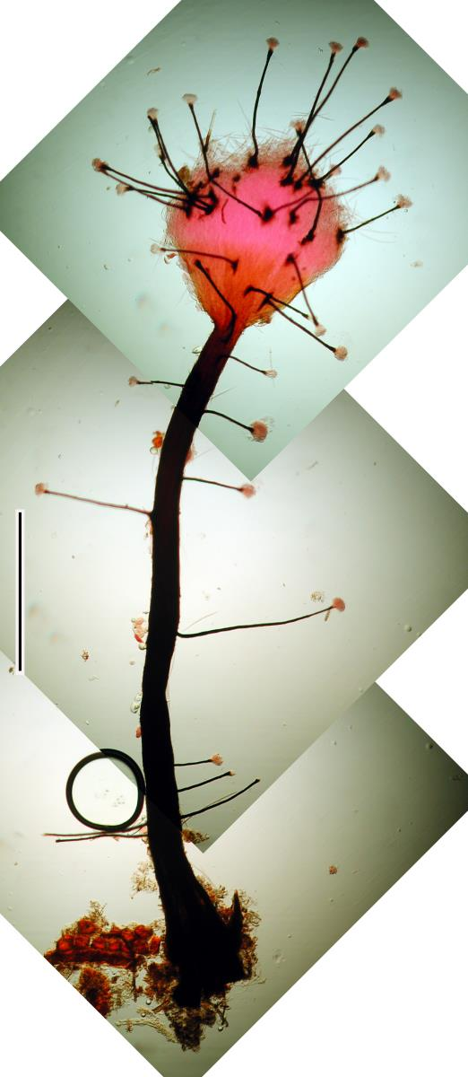 Morrisographium image