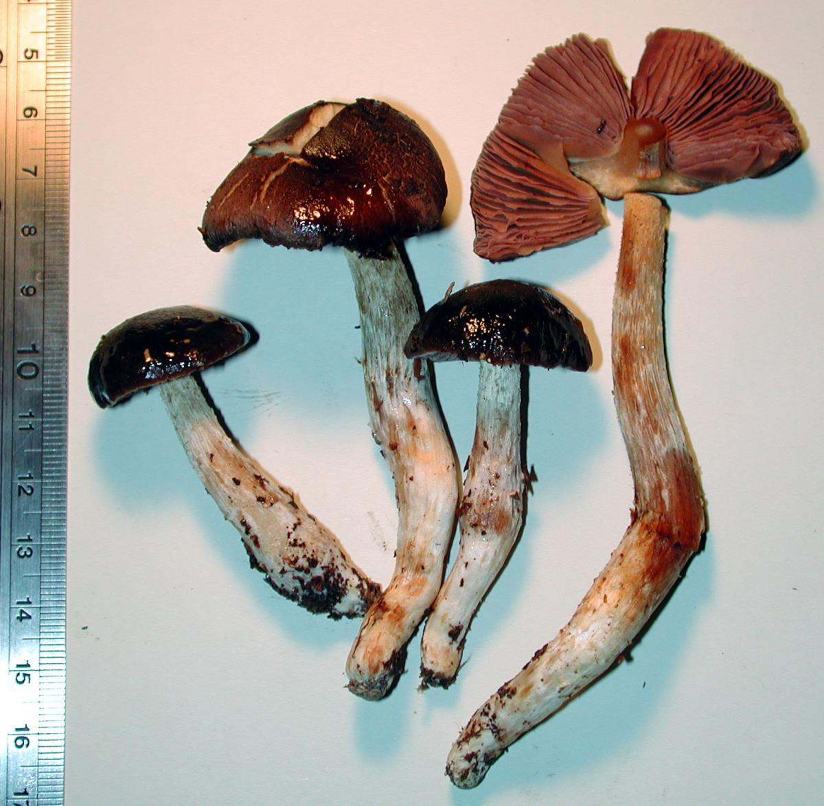 Image of Cortinarius picoides