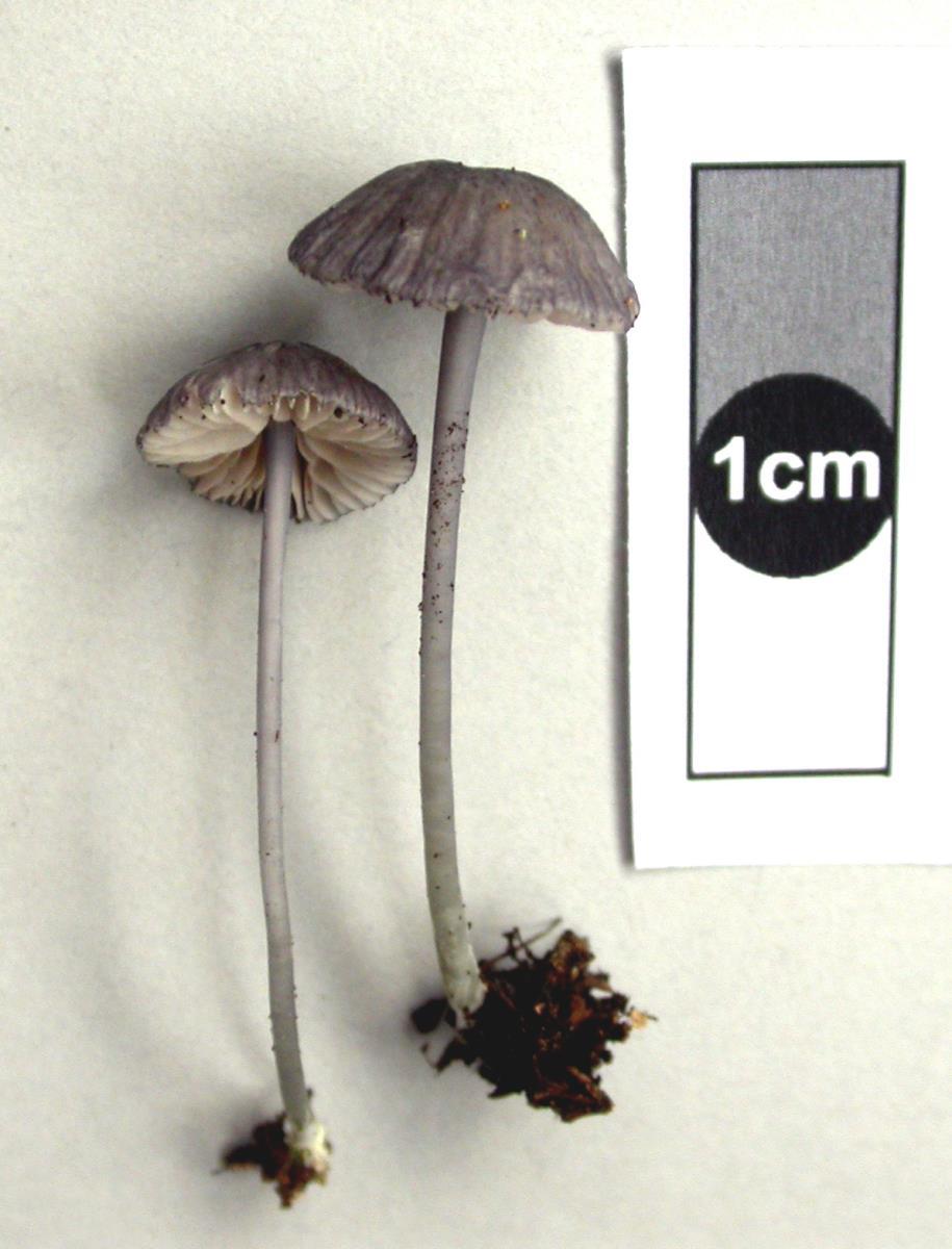 Image of Entoloma decolorans