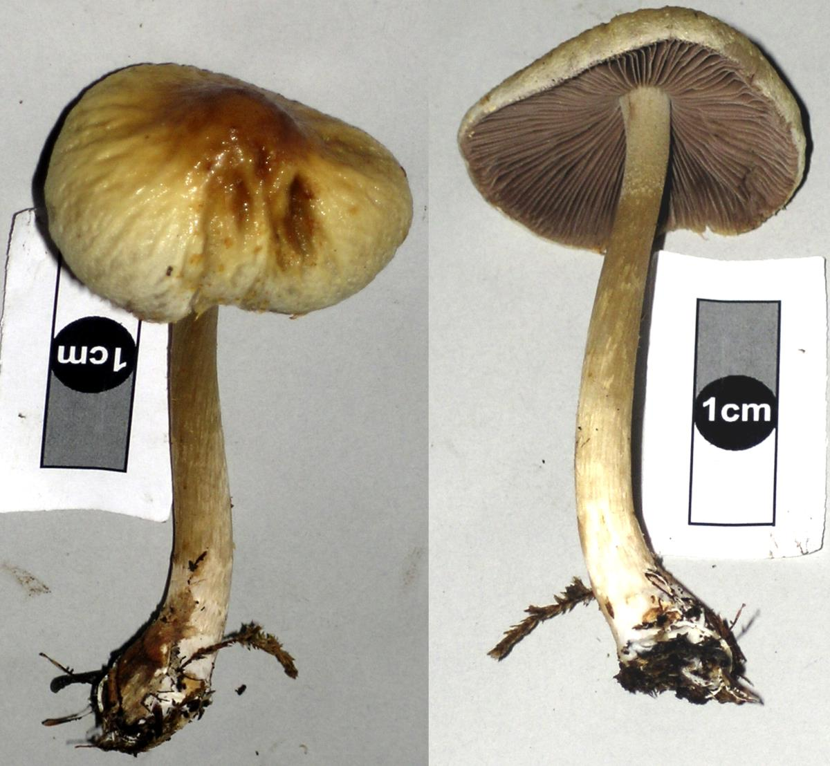 Image of Agrocybe olivacea
