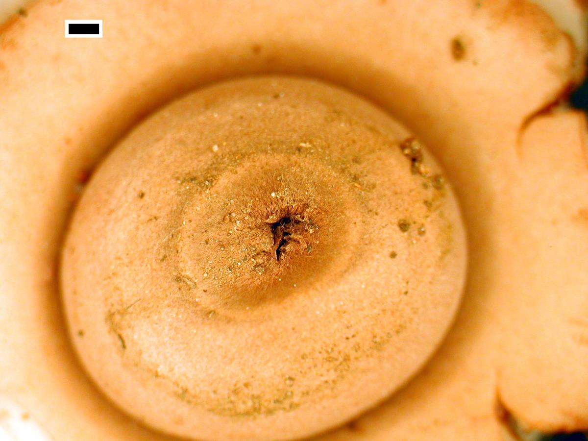 Image of Geastrum australe