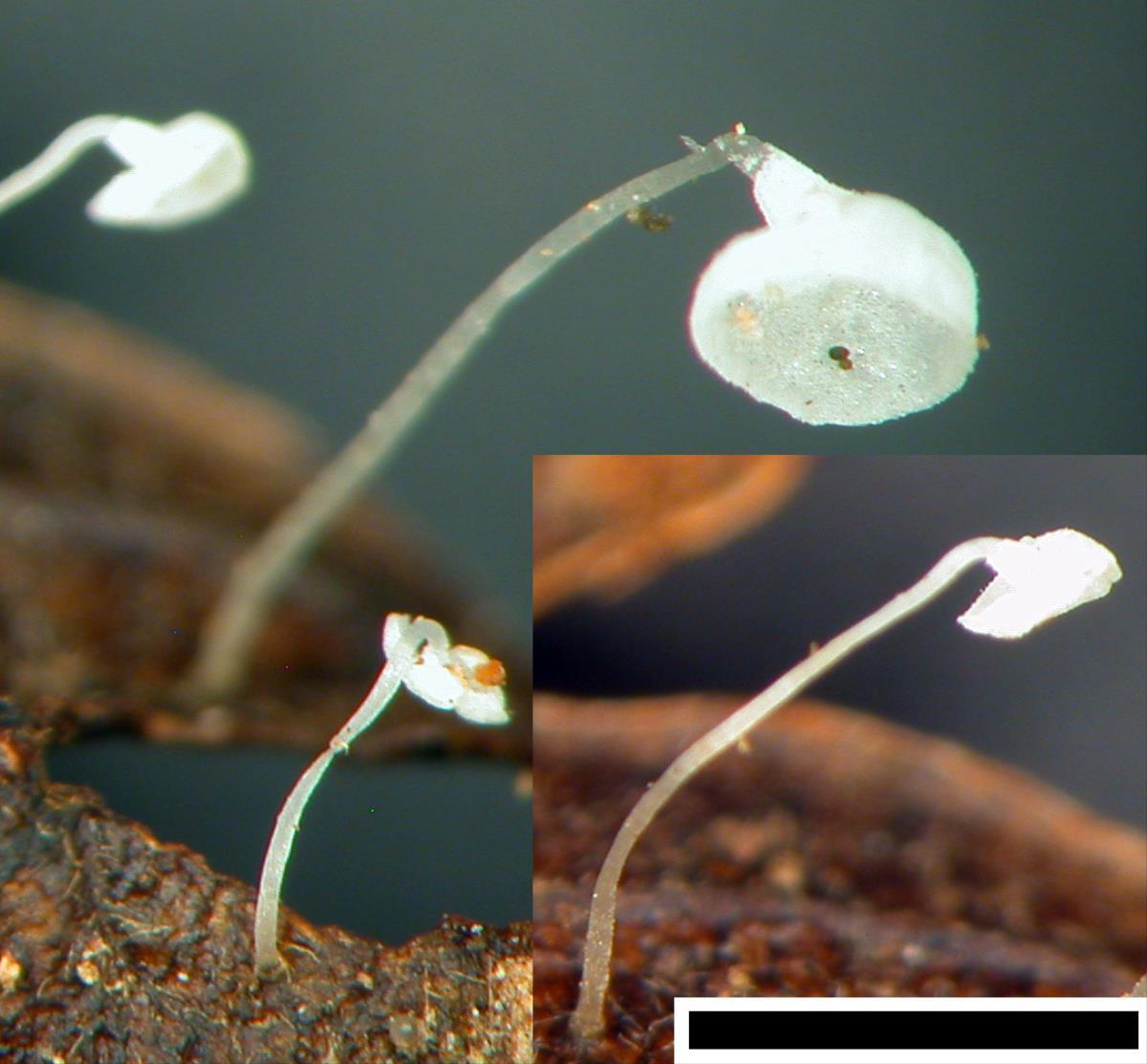 Image of Marasmius perpusillus