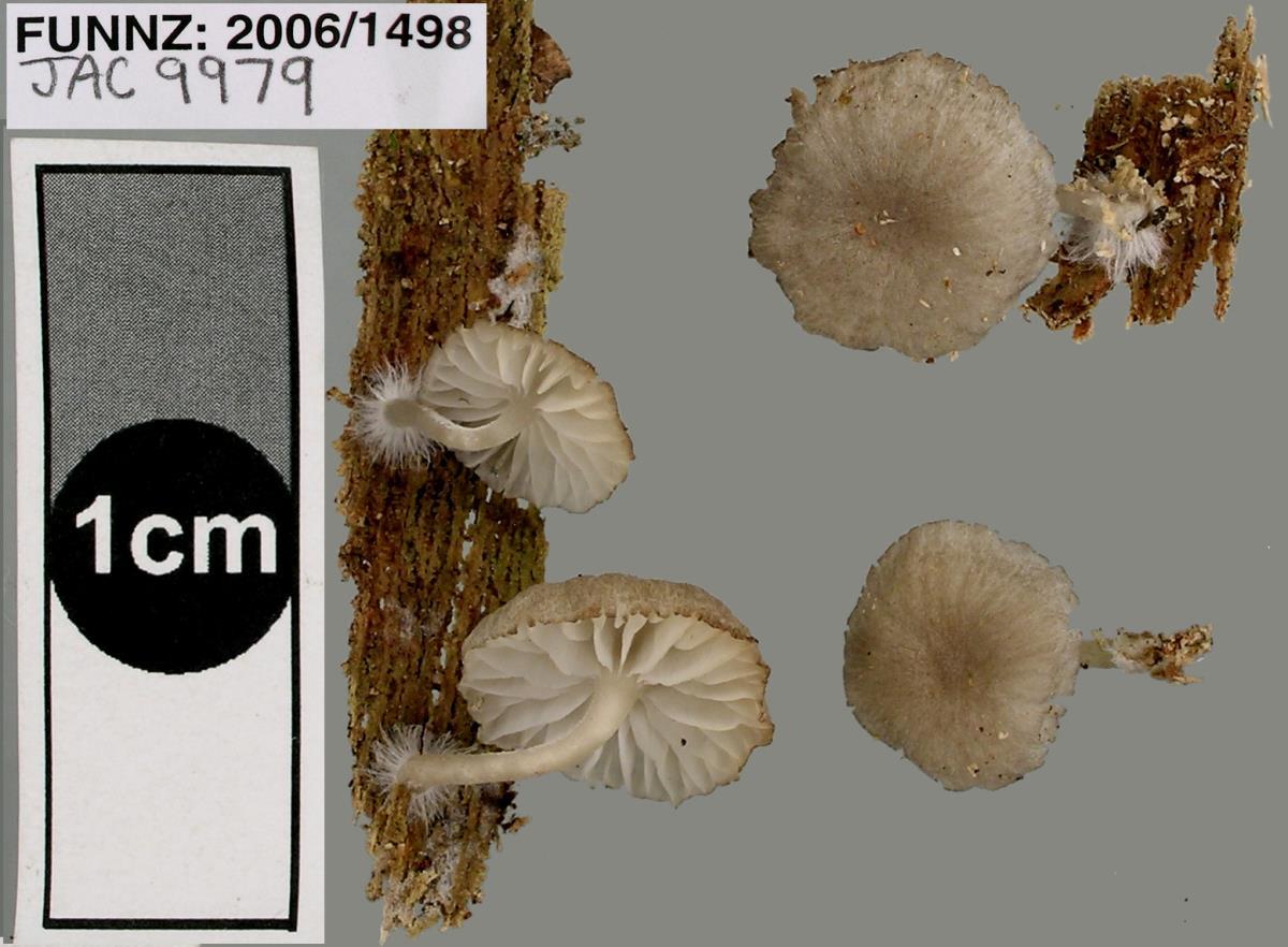 Image of Clitocybula grisella