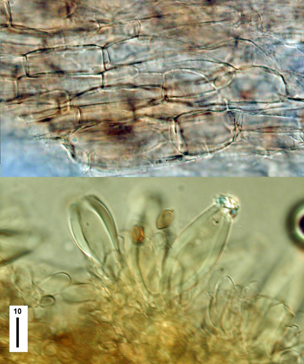 Inocybe tenax image