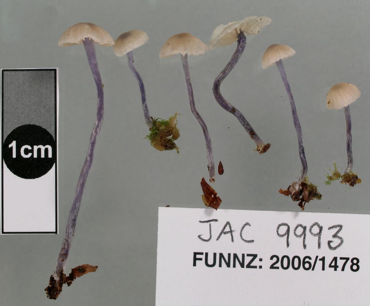Image of Entoloma uliginicola