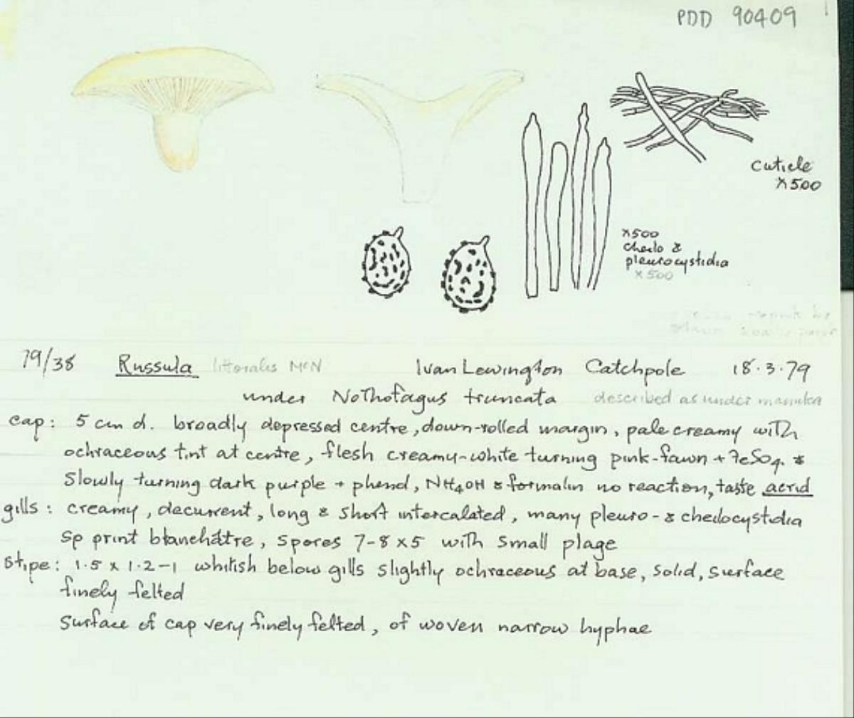 Image of Russula littoralis
