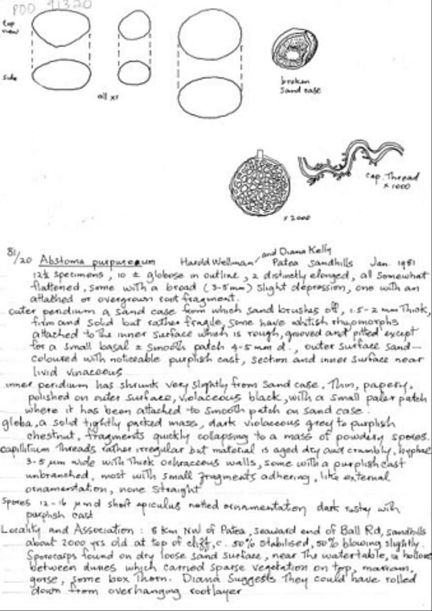 Image of Abstoma purpureum