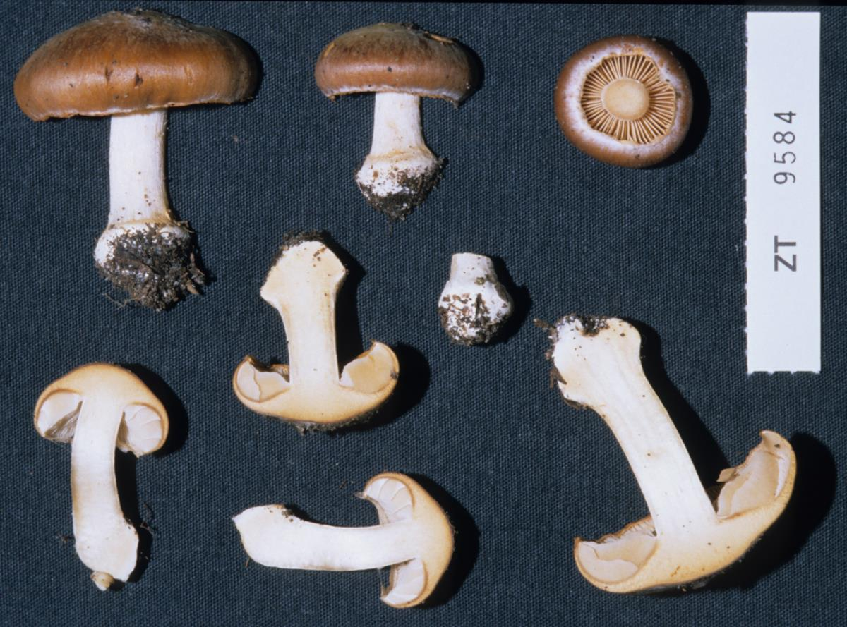 Cortinarius cremeorufus image