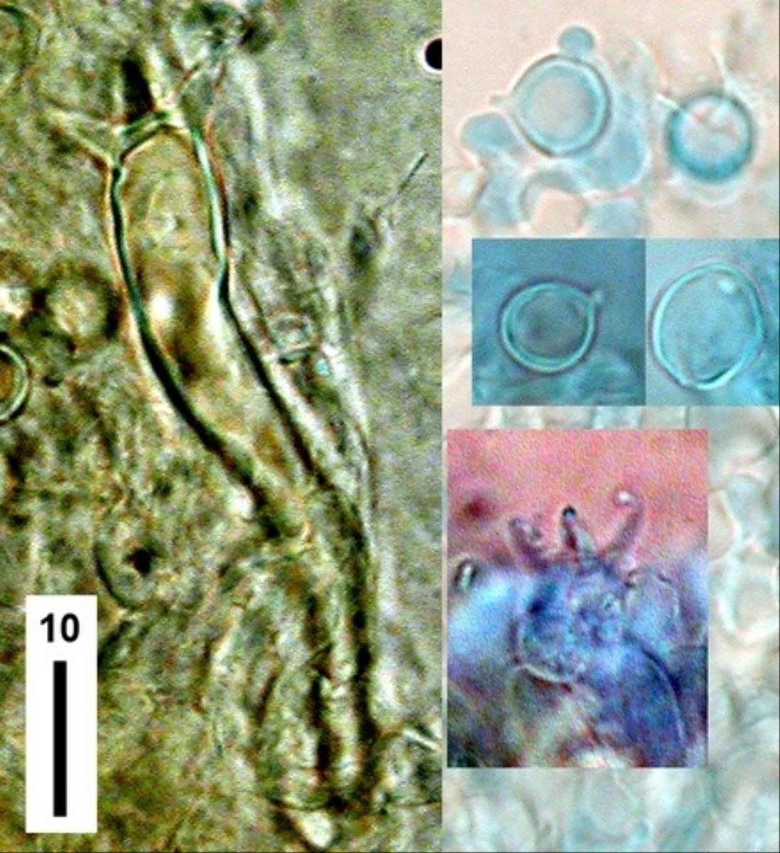 Ramariopsis simplex image