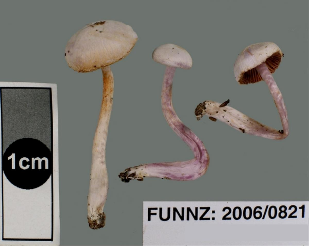 Image of Cortinarius laquellus