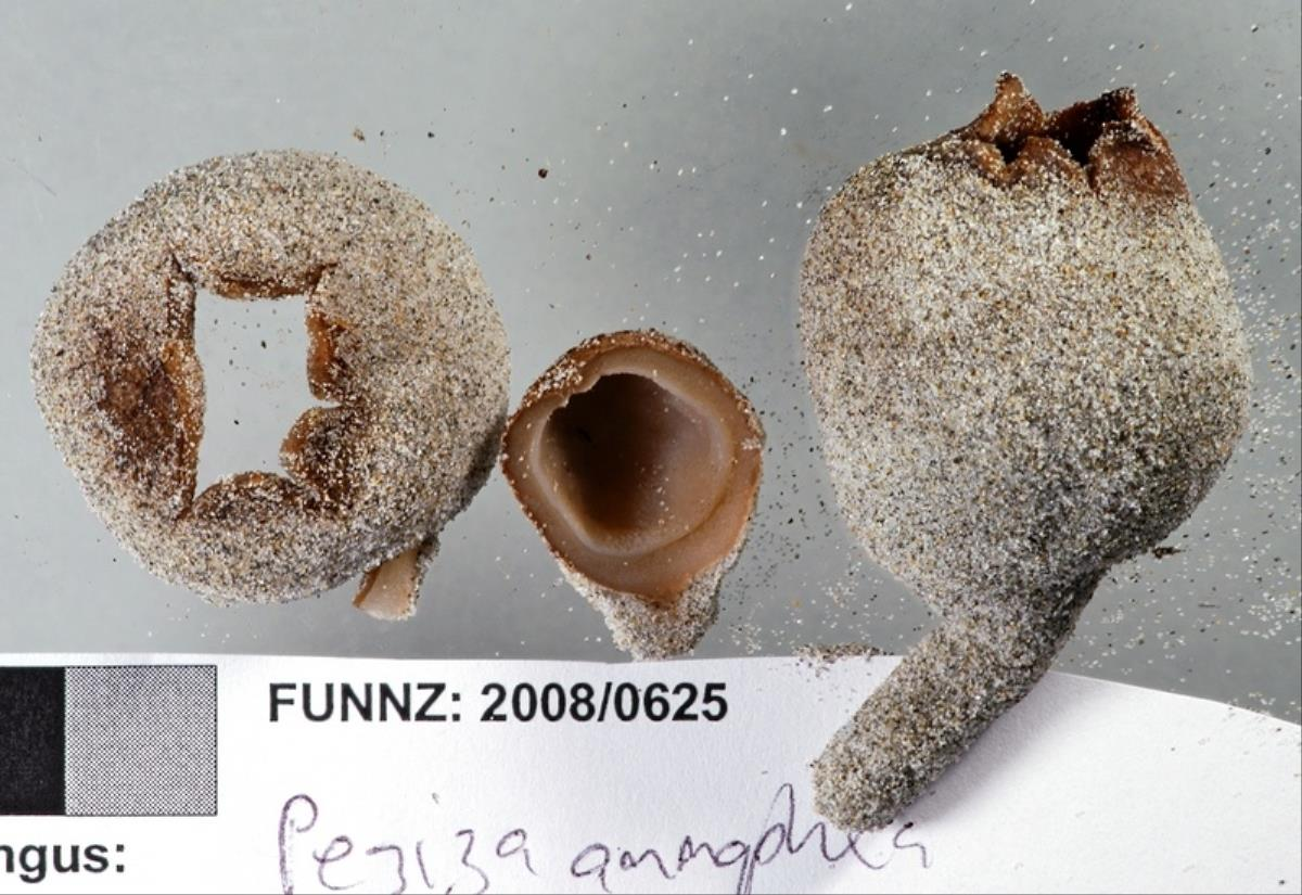 Image of Peziza oceanica