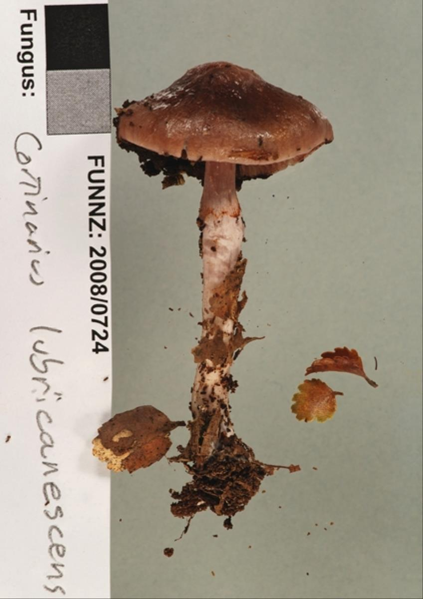 Image of Cortinarius lubricanescens