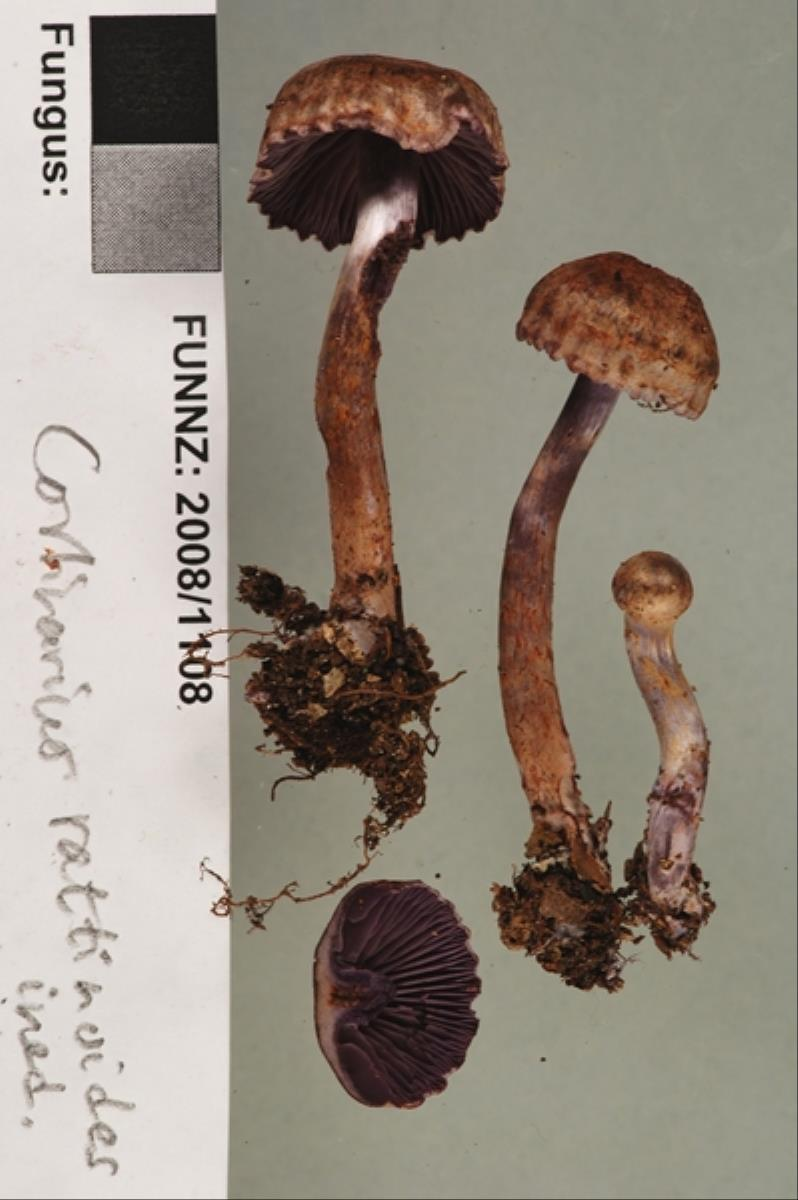 Image of Cortinarius rattinoides