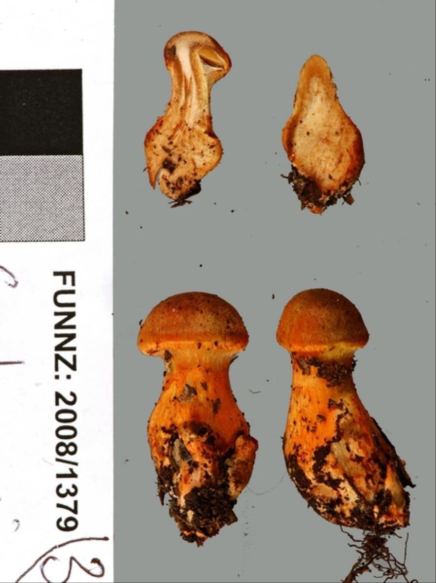 Image of Cortinarius papaver