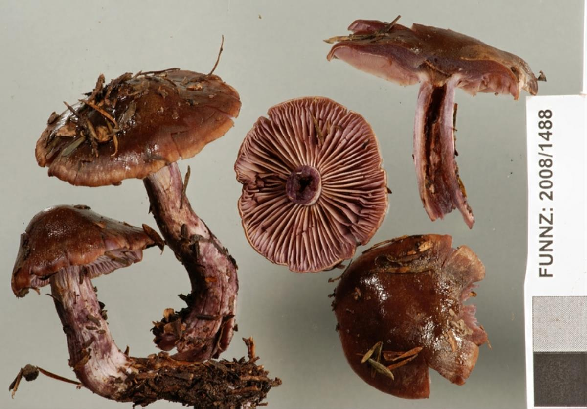 Image of Cortinarius australis