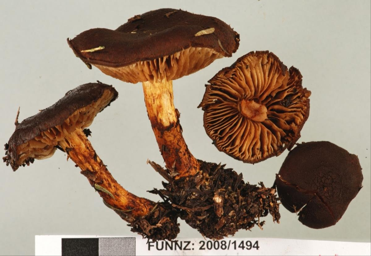 Image of Cortinarius pholiotellus