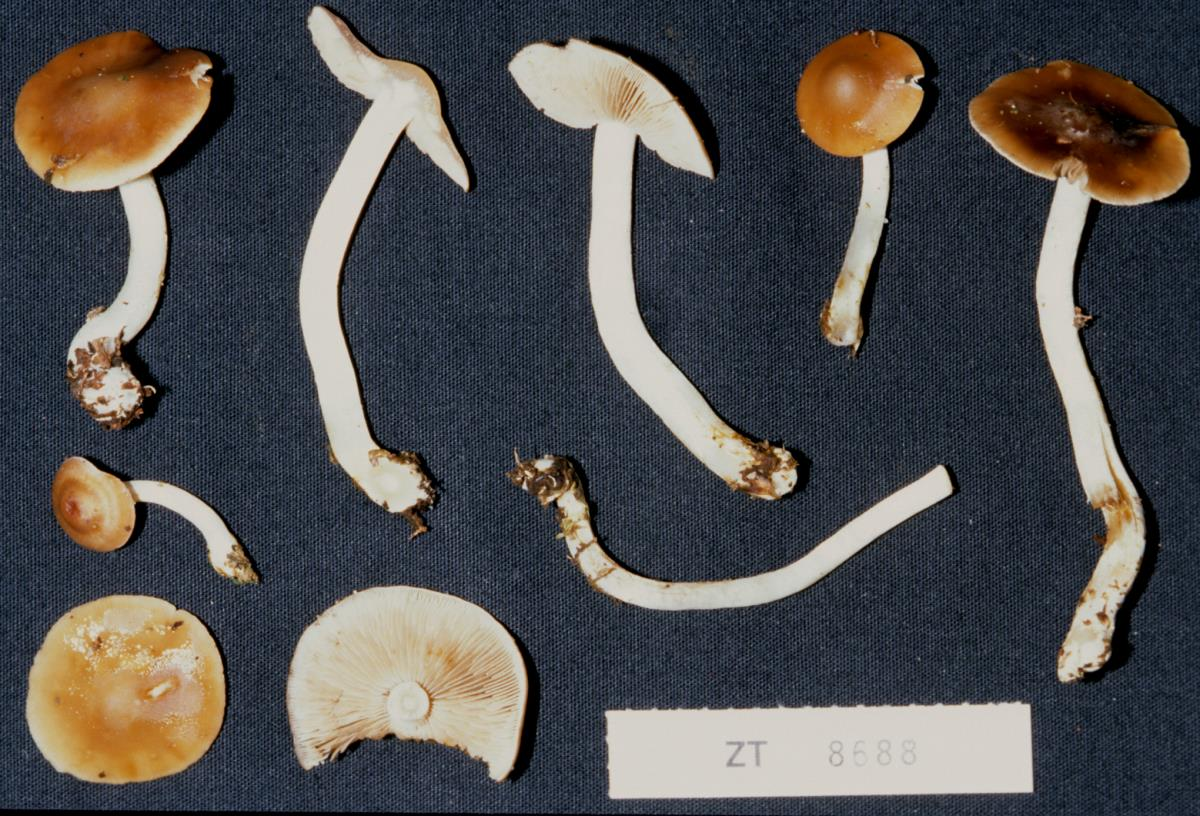 Image of Cortinarius kaimanawa