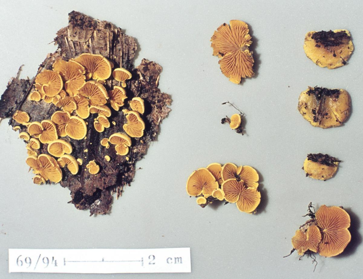 Image of Crepidotus parietalis