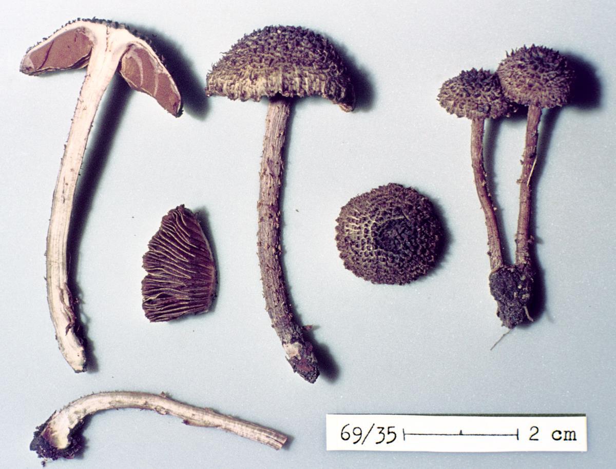 Inocybe latericia image