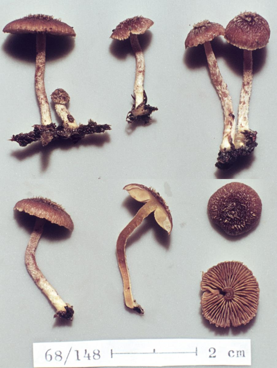 Image of Inocybe destruens