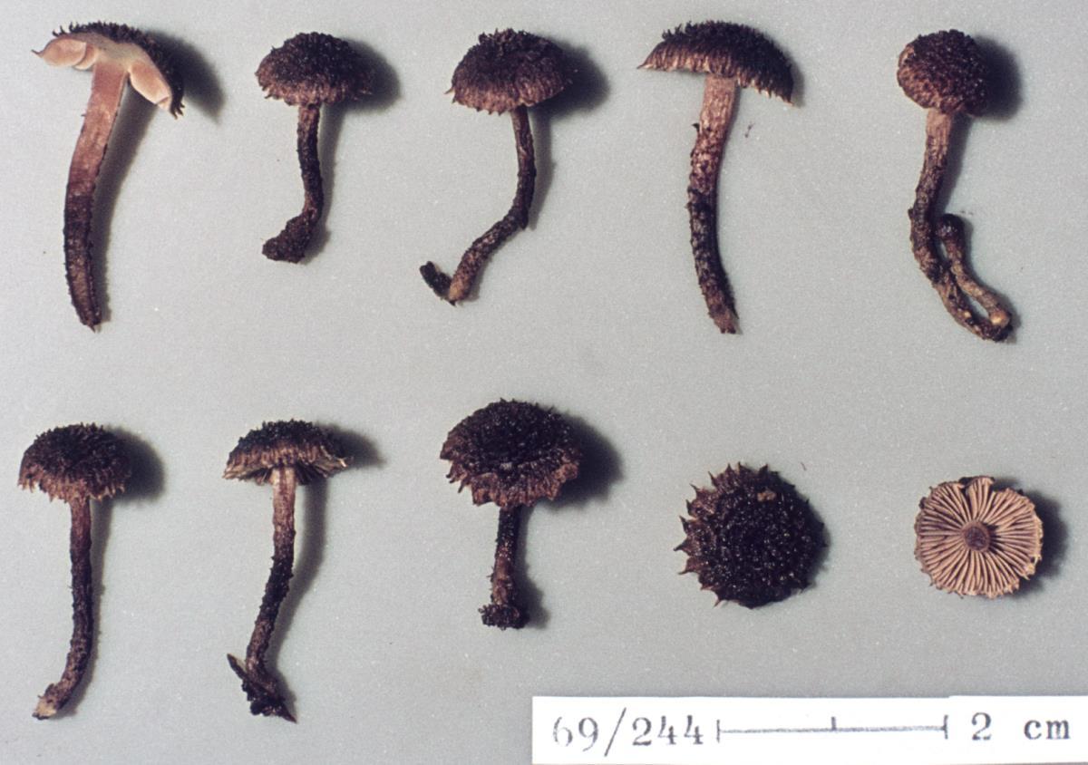 Inocybe phaeosquarrosa image