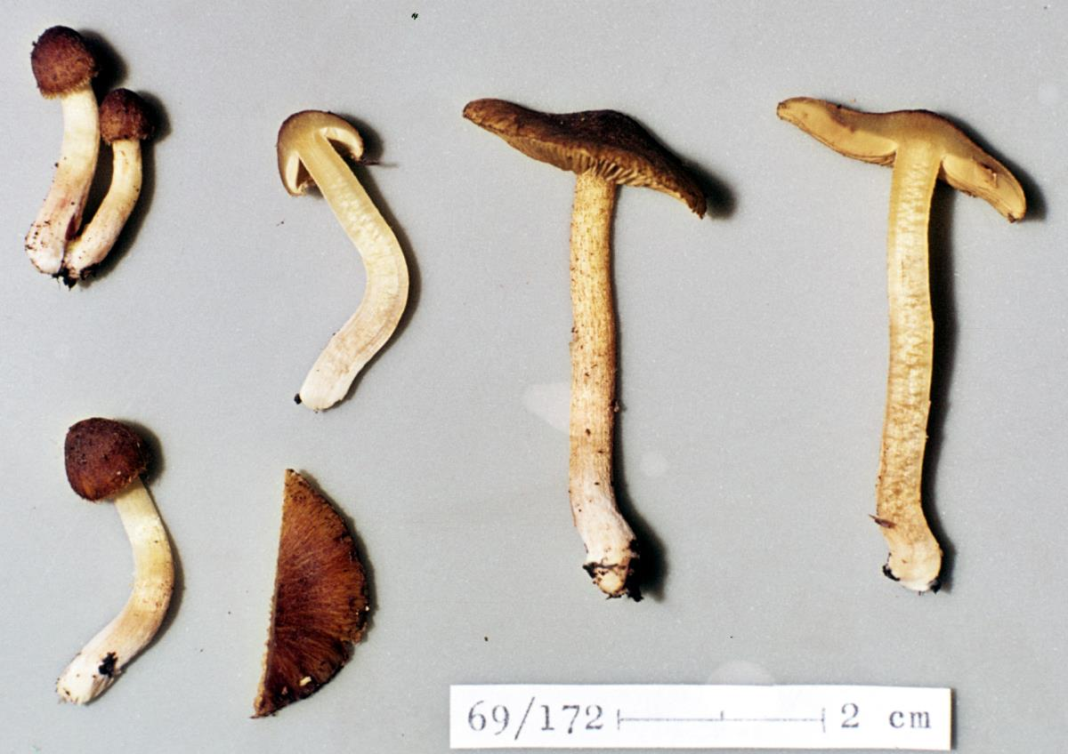 Image of Inocybe cerea