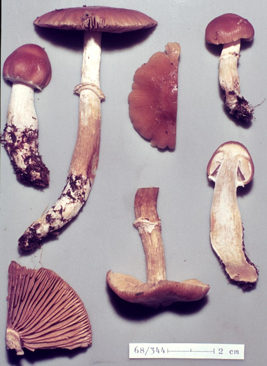 Image of Cortinarius elacatipus