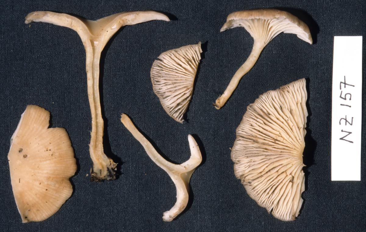 Agaricus clitocyboides image