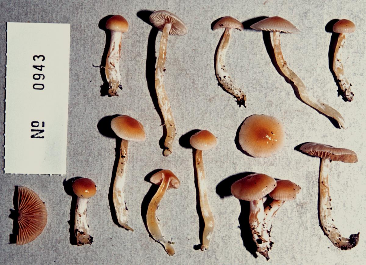 Image of Cortinarius gemmeus