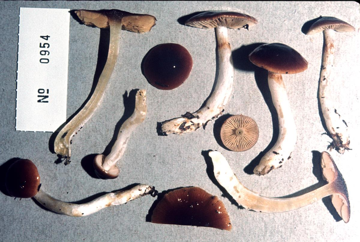 Image of Cortinarius castaneiceps