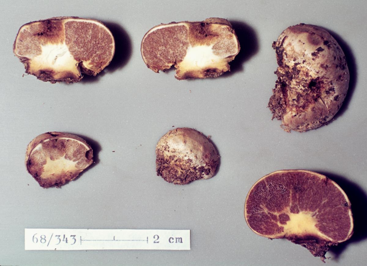 Image of Cortinarius anisodorus
