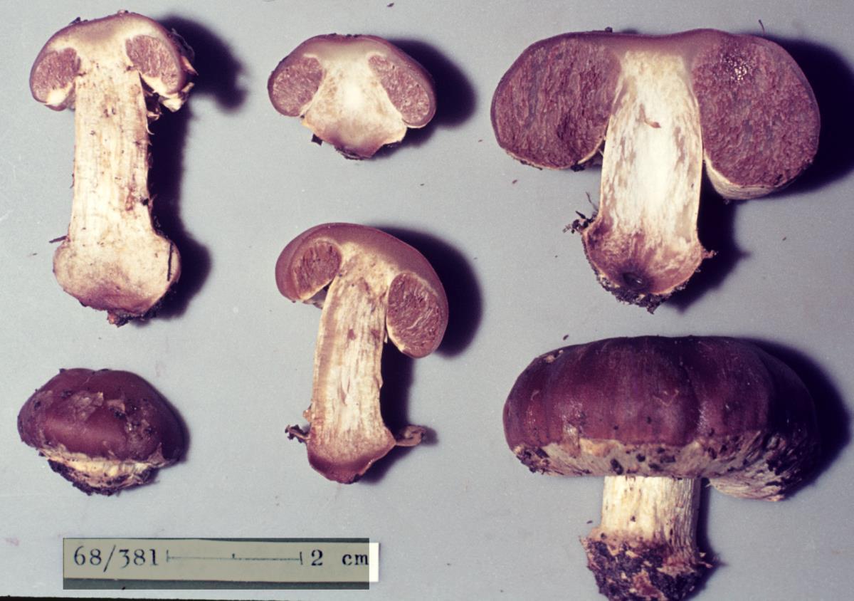 Image of Cortinarius napivelatus