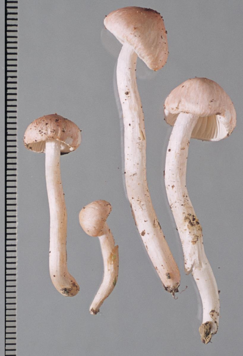 Image of Hygrophorus carcharias
