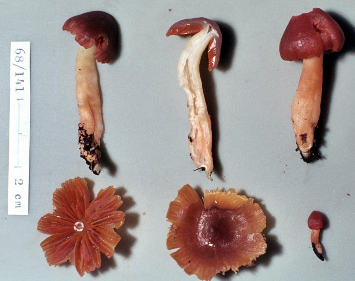 Image of Hygrocybe conspicua