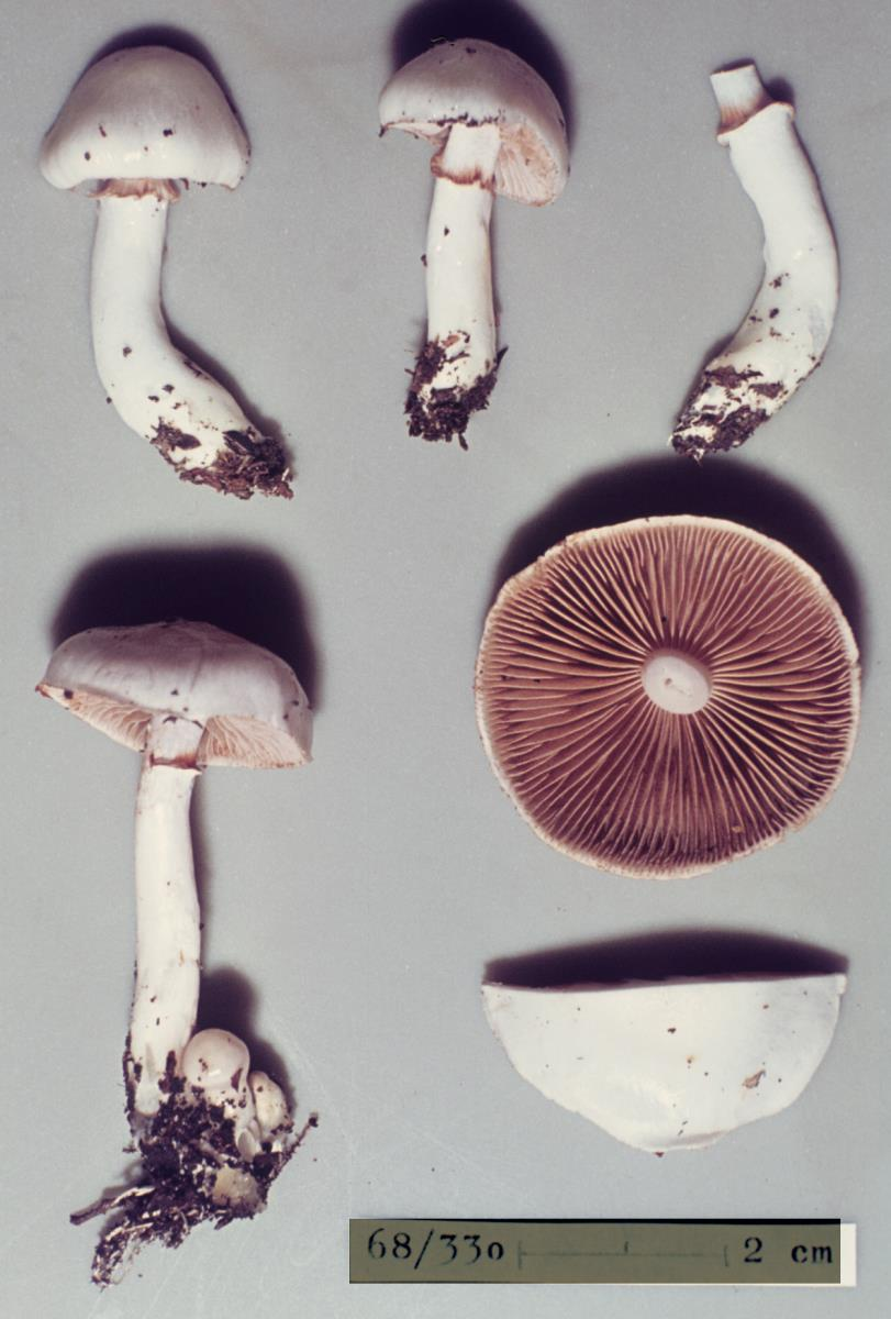 Image of Cortinarius cycneus