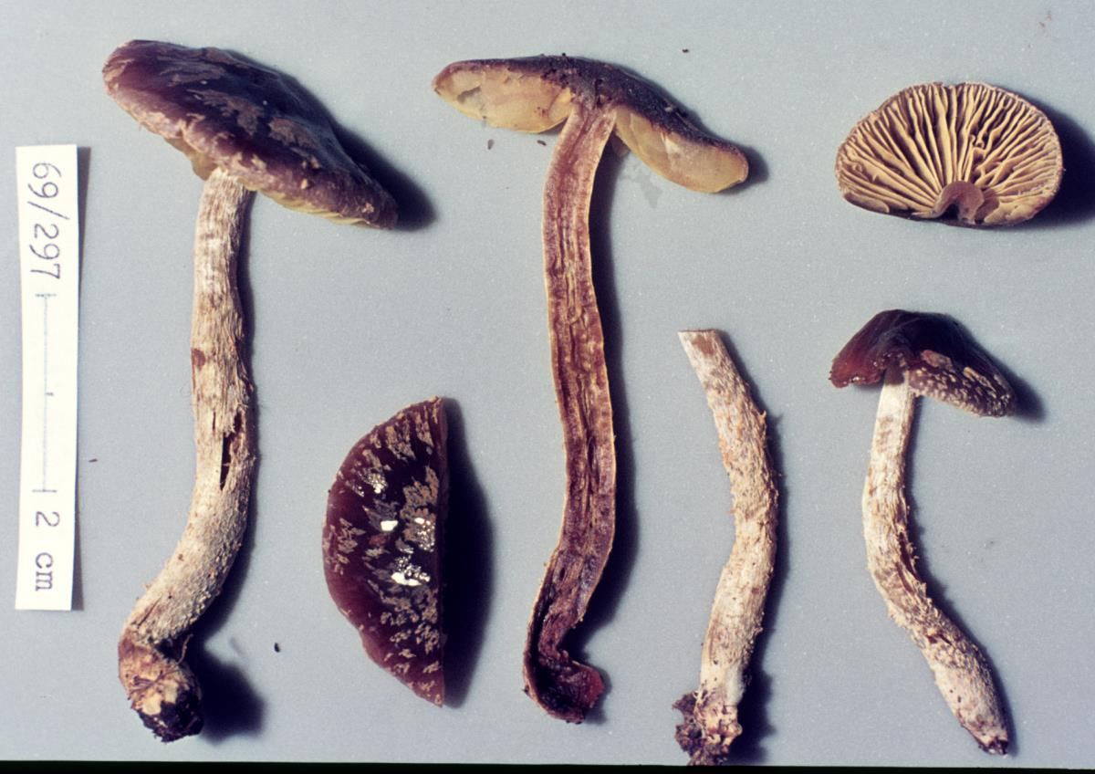 Image of Cortinarius phaeomyxa