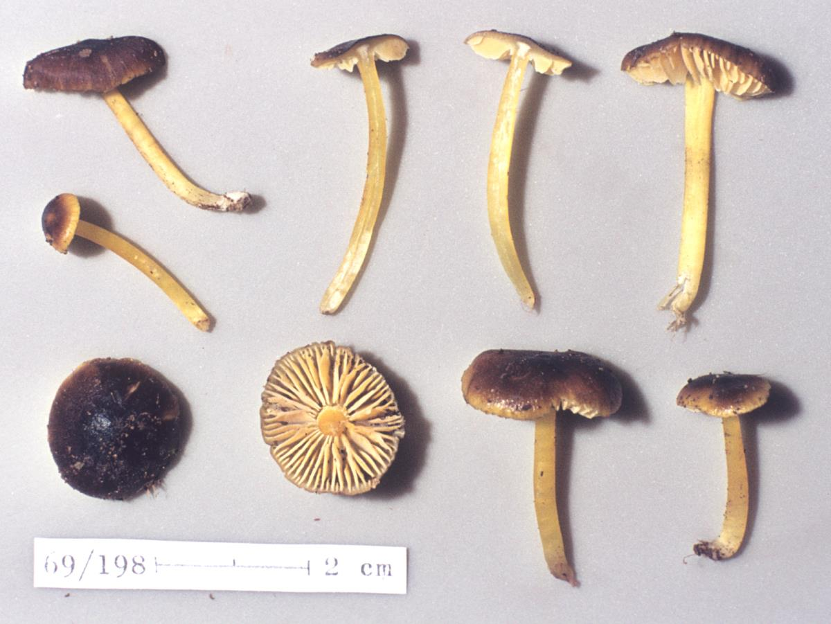 Image of Hygrocybe fuliginata