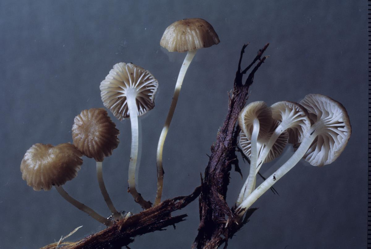 Image of Mycena veronicae