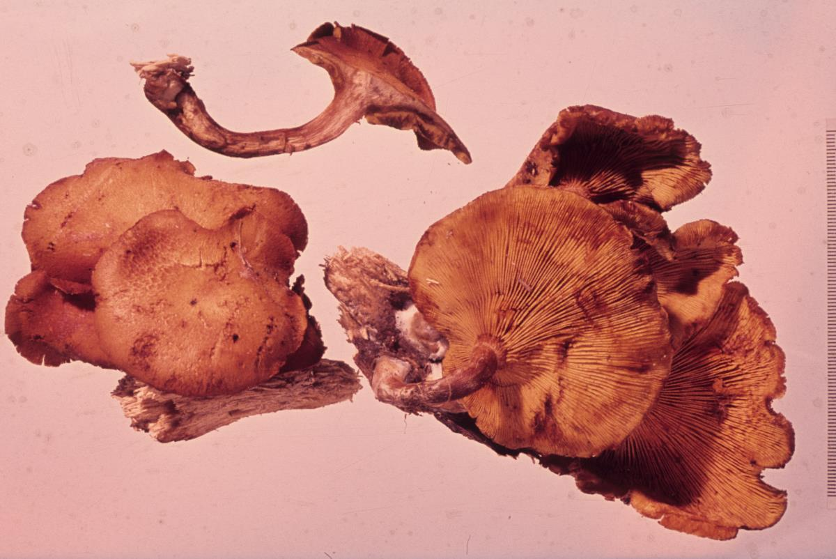 Gymnopilus crociphyllus image
