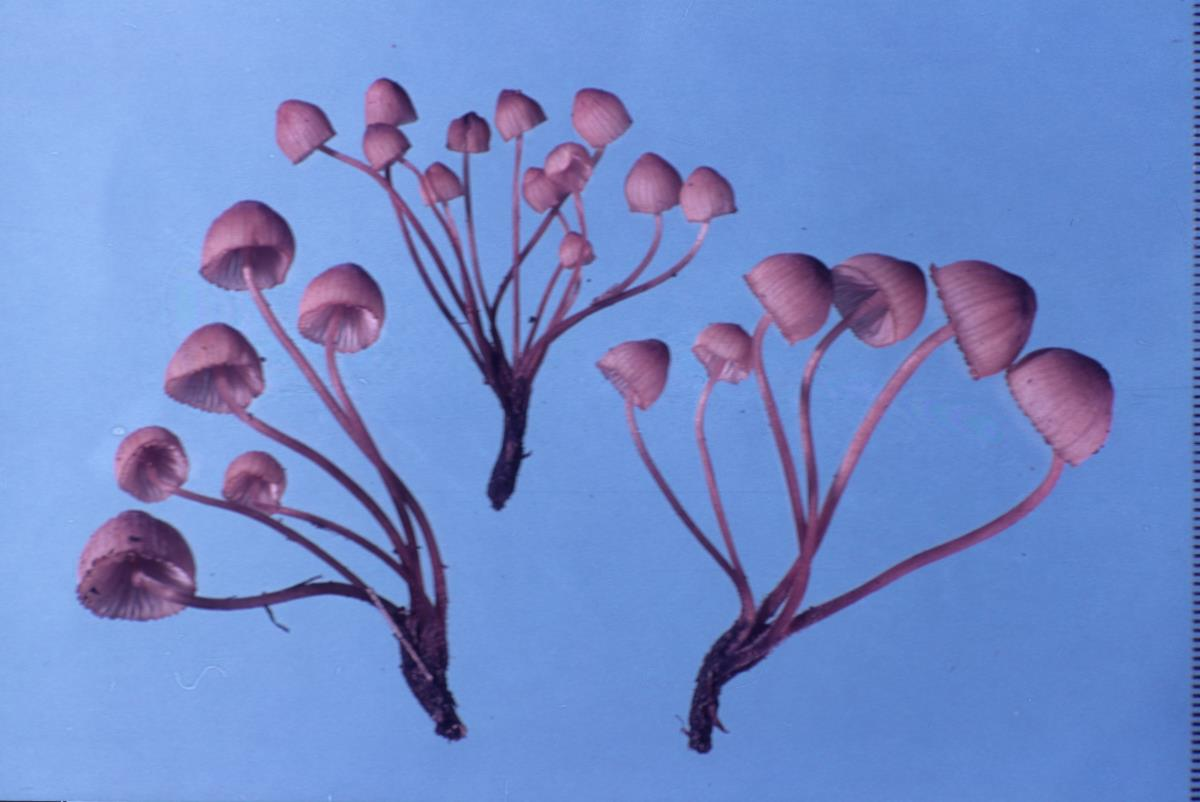 Image of Galactopus parsonsii