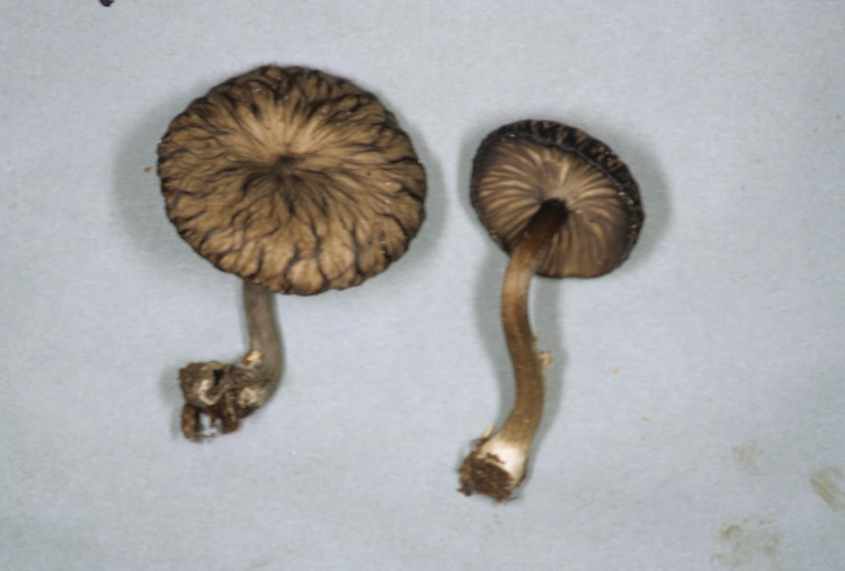 Omphalina foetida image