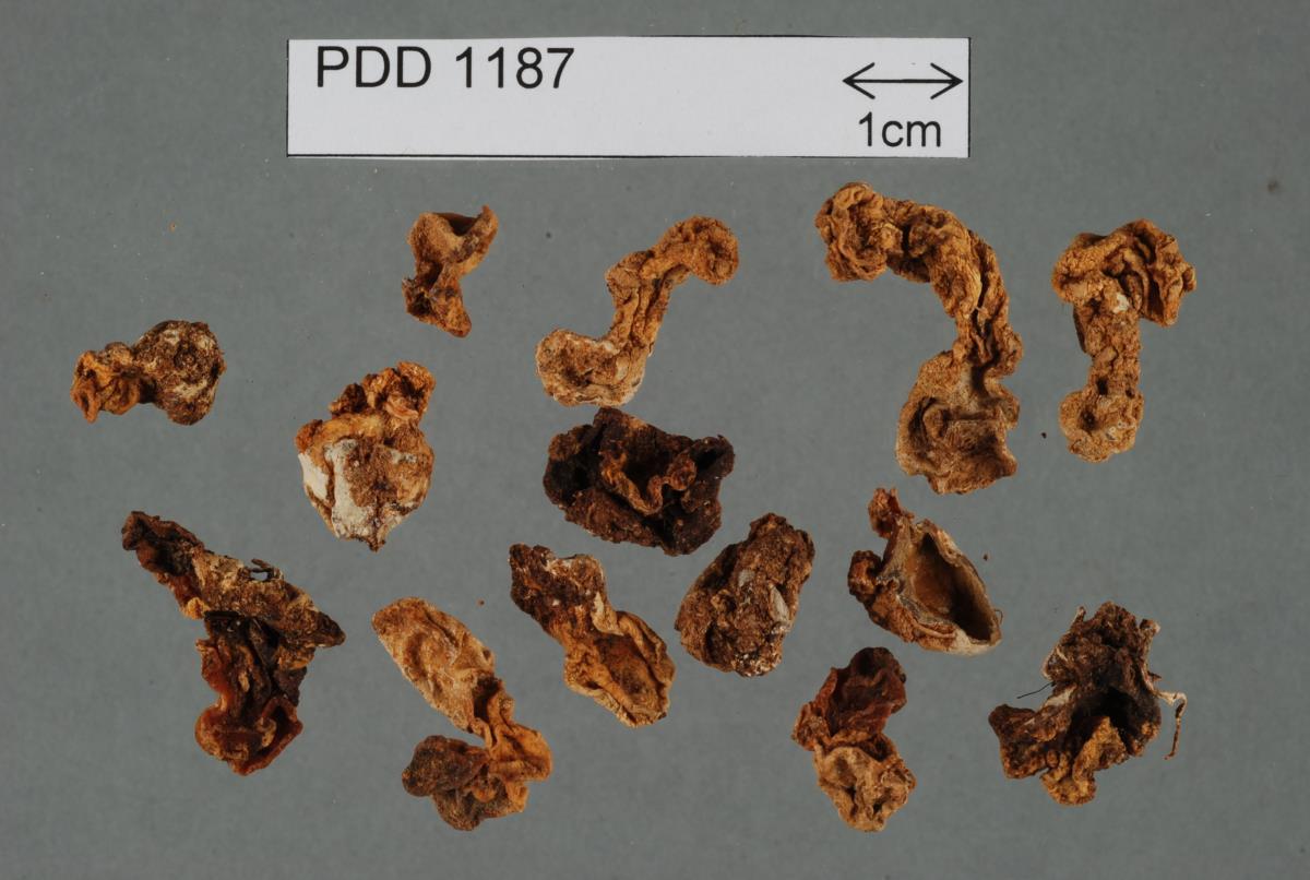 Image of Hysterangium lobatum