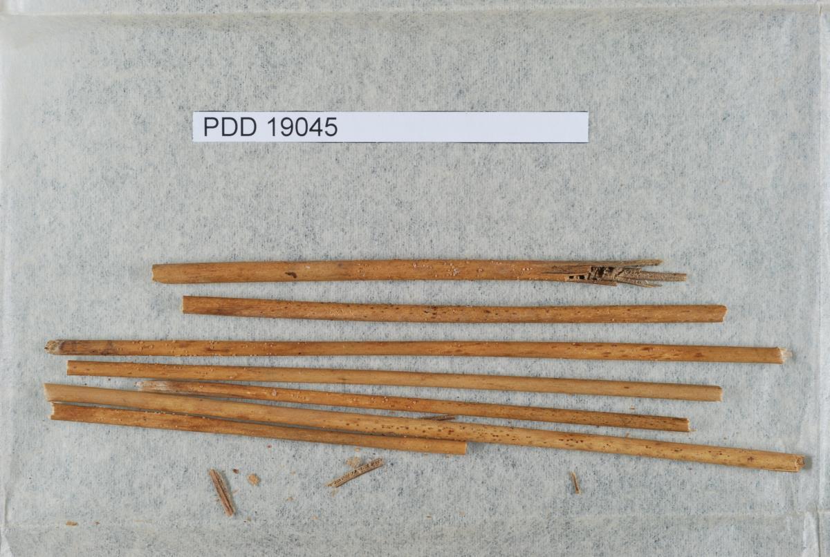 Image of Asperopilum juncicola