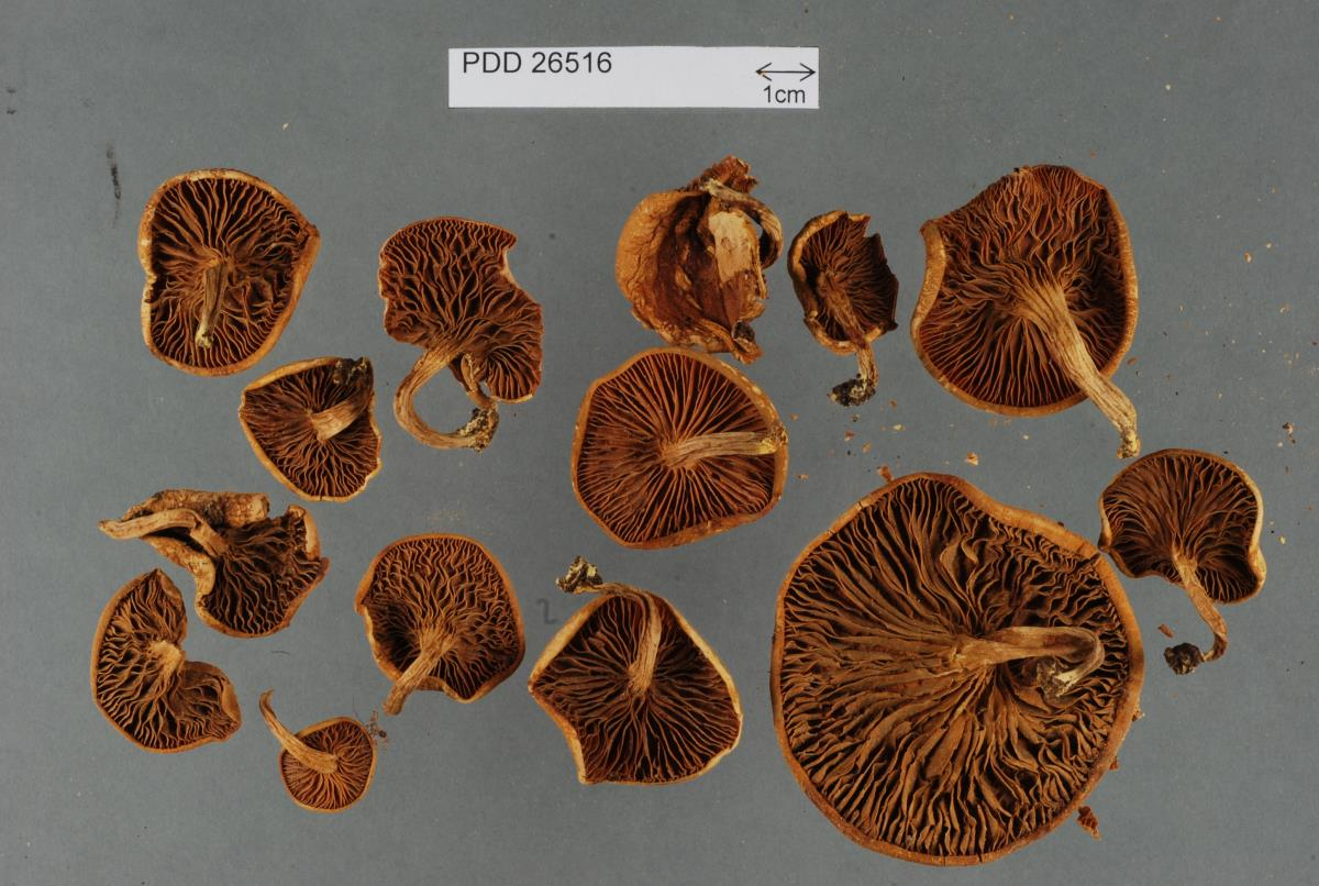 Image of Phylloporus novae-zelandiae