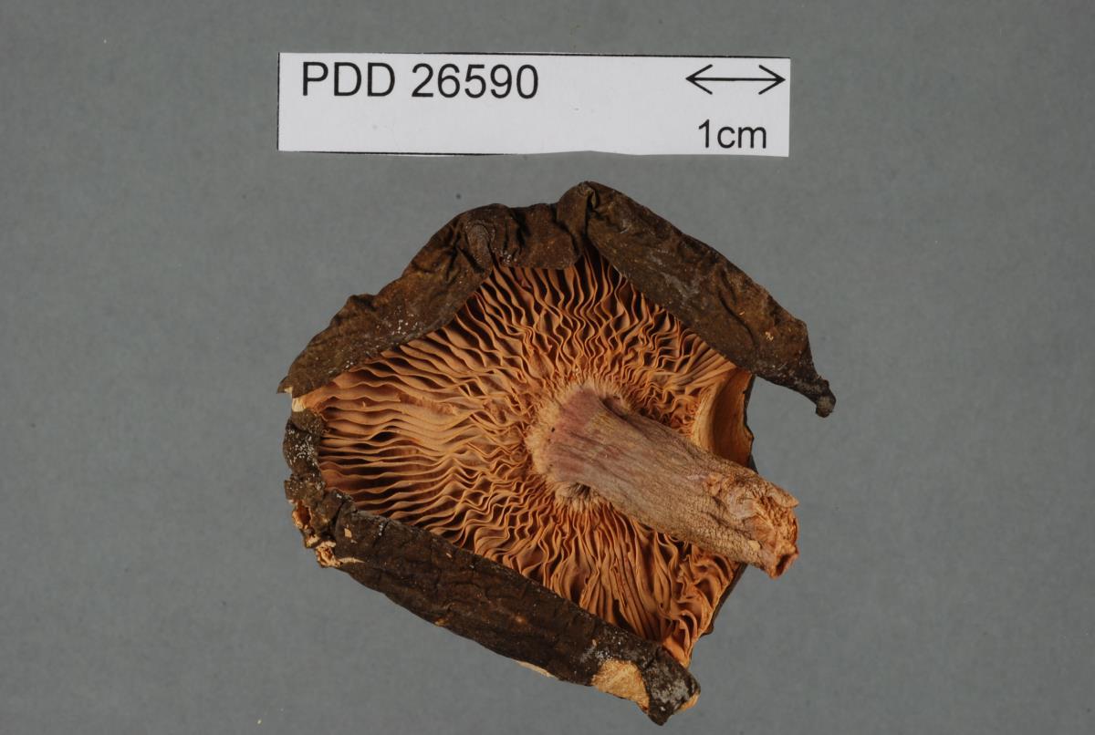Image of Russula aucklandica