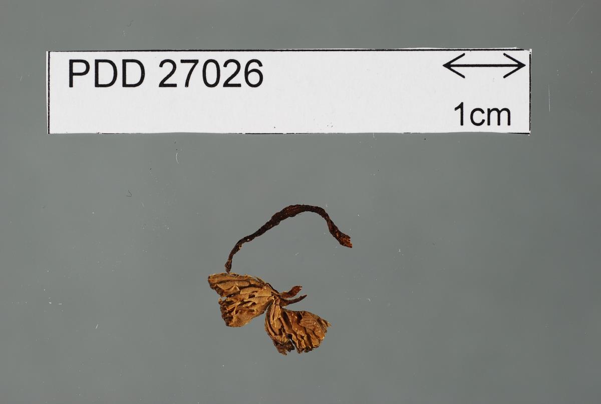 Image of Entoloma brunneolilacinum